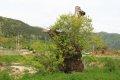 반석마을 버드나무