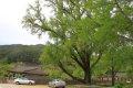 지실마을 은행나무