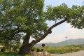 운현마을 느티나무