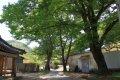 도동마을 느티나무
