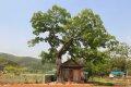 광산마을 팽나무