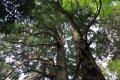 미토현립자연공원 가이라쿠엔 타로 삼나무