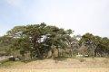 고례리 소나무