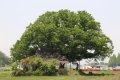 잣정마을 느티나무