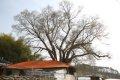 자양마을 느티나무