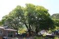 월곡마을 느티나무