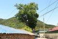 중방마을 느티나무