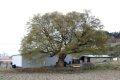 남차리 느티나무 보호수