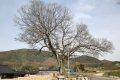 방축리 팽나무