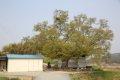 청용리 느티나무