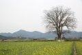 구룡리 느티나무