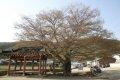 청계마을 느티나무