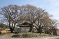 장안리 느티나무