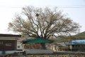 용산리 느티나무