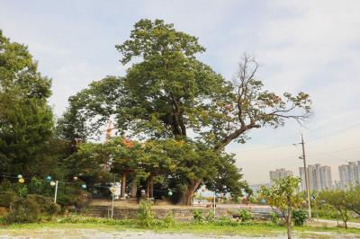 미암리 느티나무 03