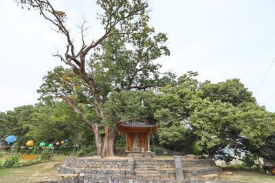 미암리 느티나무 02