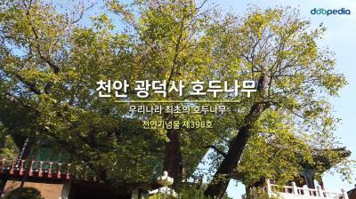 천안 광덕사 호두나무