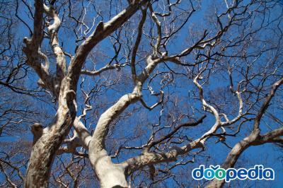 남방배롱나무