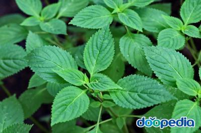 들깨풀 잎