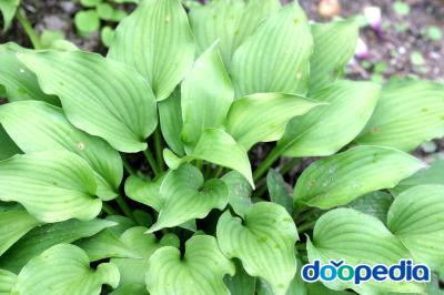 Hosta capitata for. albiflora
