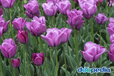 Tulip Murasakizuisyou