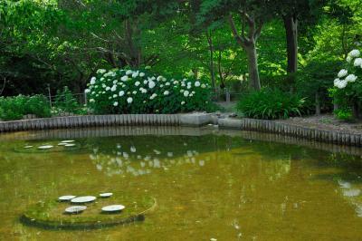 오다이공원, 가시연 연못 03