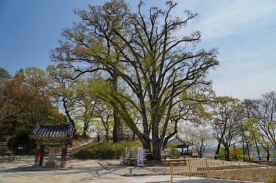 신륵사 은행나무 07