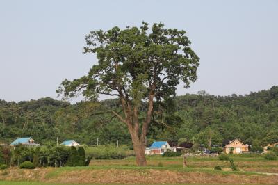 초과리오리나무 02