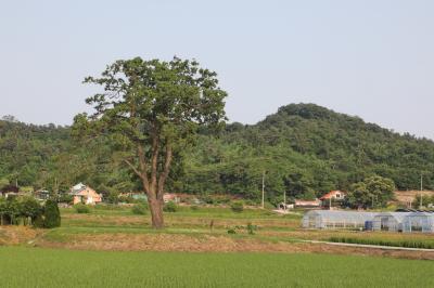 초과리오리나무 08