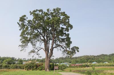 초과리오리나무 03