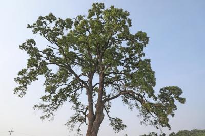 초과리오리나무 10