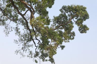 초과리오리나무 11