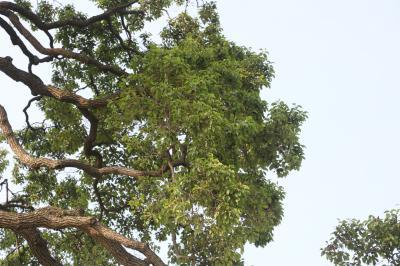 초과리오리나무 12