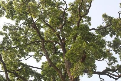 초과리오리나무 14