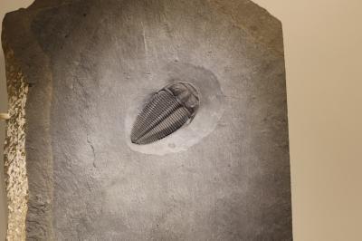 휴스턴 자연과학 박물관, 고키아 삼엽충
