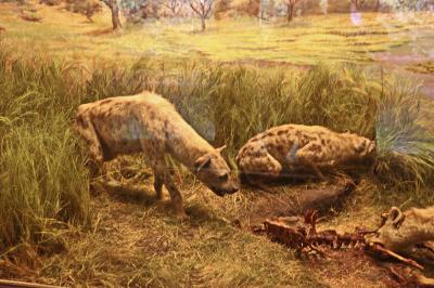 로스앤젤레스 카운티 자연사 박물관, 점박이 하이에나 01