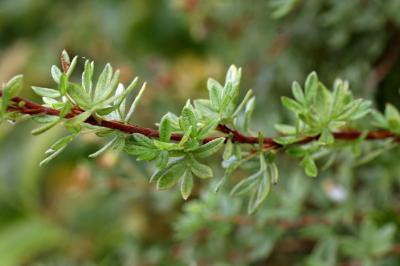 물싸리 잎 06