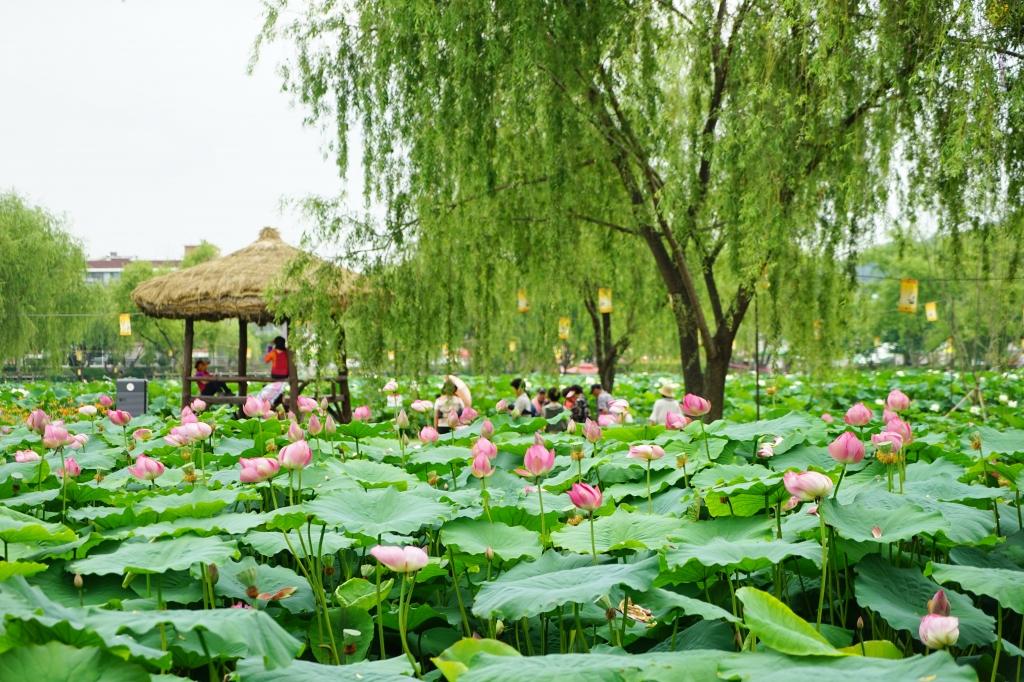 7월 축제_부여서동 연꽃축제