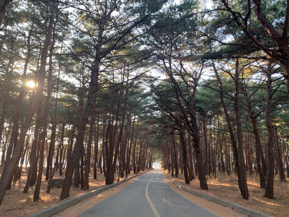고성 화진포, 소나무숲을 걷다