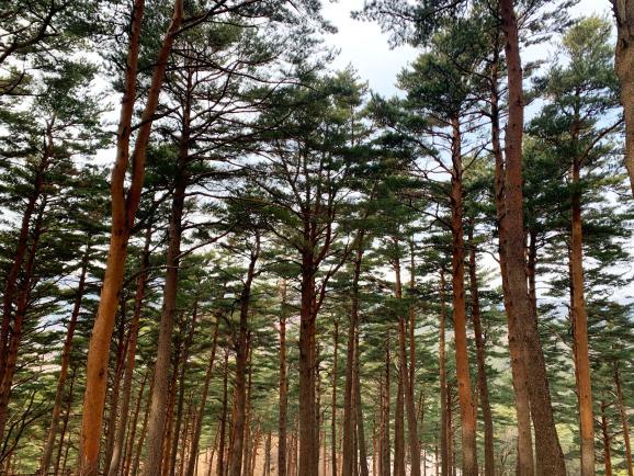 대관령소나무숲, 100년의 시간