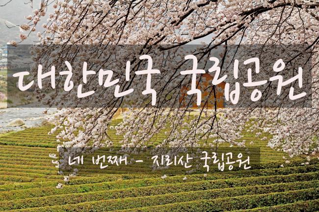제11화 - 녹차밭 위의 벚꽃, 쌍계사와 하동십리벚꽃길