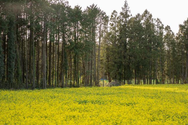 제주, 봄 끝자락 노란 유채를 만나다.